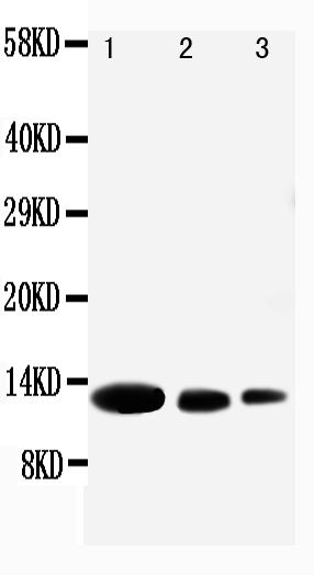 Anti-CXCL9 antibody, PA1429, Western blotting<br>Lane 1: Recombinant Human CXCL9 Protein 10ng<br>Lane 2: Recombinant Human CXCL9 Protein 5ng<br>Lane 3: Recombinant Human CXCL9 Protein 2.5ng