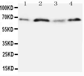 /antibody/pa1431-1-WB-anti-opn-antibody.jpg