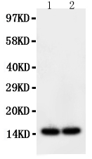 Anti-FABP2/I-FABP antibody, PA1452, Western blotting<br>Lane: Rat Intestine Tissue Lysate