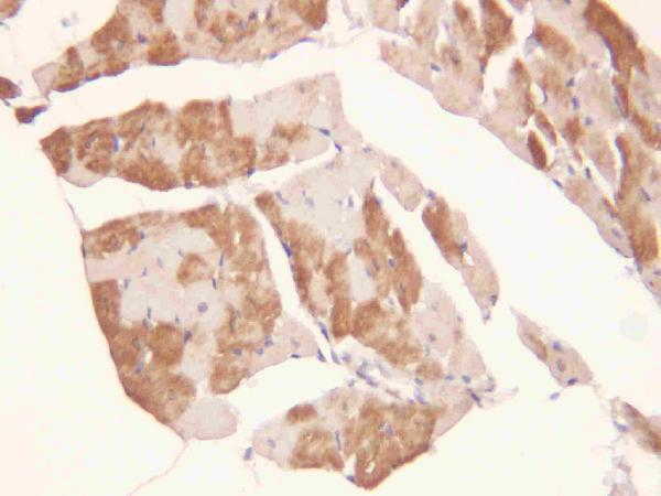 Anti-ADAMTS2 antibody, PA1461, IHC(P)<br>IHC(P): Rat Cardiac Muscle Tissue