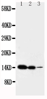 Anti-IL-2 antibody, PA1466, Western blotting<br>Lane 1: Recombinant Mouse IL-2 Protein 10ng <br>Lane 2: Recombinant Mouse IL-2 Protein 5ng<br>Lane 3: Recombinant Mouse IL-2 Protein 2.5ng