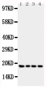 Anti-IFN gamma antibody, PA1493, Western blotting<br>All lanes: Anti IFN gamma (PA1493) at 0.5ug/ml<br>Lane 1: Recombinant Human IFN gamma Protein 10ng<br>Lane 2: Recombinant Human IFN gamma Protein 5ng<br>Lane 3: Recombinant Human IFN gamma Protein 2.5ng<br>Lane 4: Recombinant Human IFN gamma Protein 1.25ng<br>Predicted bind size: 19KD<br>Observed bind size: 19KD