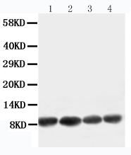 Anti-Apelin antibody, PA1501, Western blotting<br>Working concentration of primary antibody: 0.5 μg/ml; 40μg protein was loaded. <br>Lane 1: U87 Cell Lysate<br>Lane 2: MCF-7 Cell Lysate<br>Lane 3: HELA Cell Lysate<br>Lane 4: MM453 Cell Lysate<br>