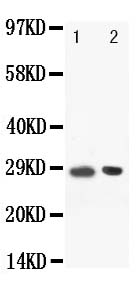 Anti-BOB1 antibody, PA1506, Western blotting<br>Lane: Rat Spleen Tissue Lysate