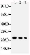Anti-BAFF antibody, PA1541, Western blotting<br>Lane 1: Recombinant Human BAFF Protein 10ng<br>Lane 2: Recombinant Human BAFF Protein 5ng<br>Lane 3: Recombinant Human BAFF Protein 2.5ng