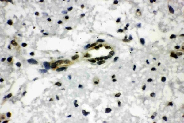Anti-CtBP1 antibody, PA1570, IHC(P)<br>IHC(P): Rat Brain Tissue