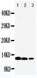 /antibody/pa1701-1-WB-anti-il-13-antibody.jpg