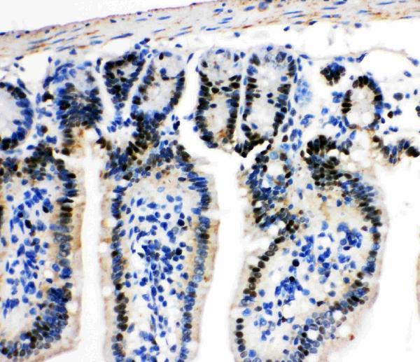 Anti-MCM2 antibody, PA1711, IHC(P)<br>IHC(P): Mouse Intestine Tissue