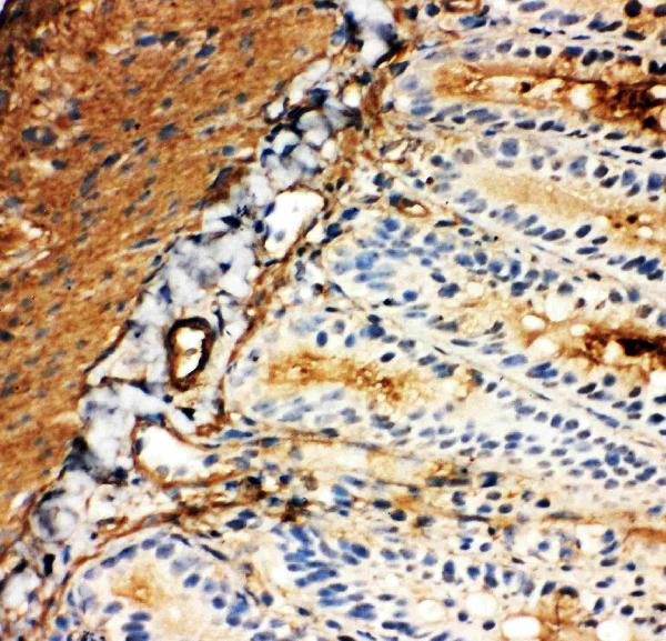 Anti-SLC2A5 antibody, PA1737, IHC(F)<br>IHC(F): Rat Intestine Tissue