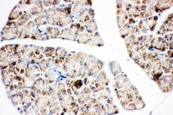 Anti-IGF1 Receptor antibody, PA1746, IHC(P)<br>IHC(P): Rat Pancreas Tissue