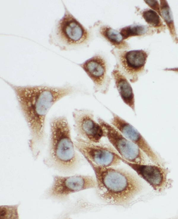 Anti-Kallikrein 6 antibody, PA1767, ICC<br>ICC: PC-3 Cell