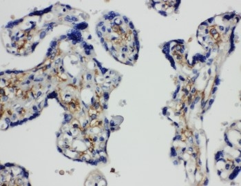 Anti-SNAP23 antibody, PA1774, IHC(P)<br>IHC(P): Human Placenta Tissue