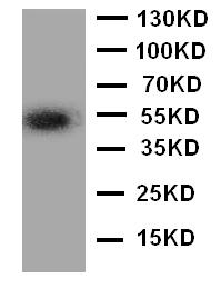 Anti-ANGPTL3 antibody, PA2075, Western blotting