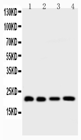 Figure 5. Western blot analysis of BID using anti-BID antibody (PB9027). <br> Electrophoresis was performed on a 5-20% SDS-PAGE gel at 70V (Stacking gel) / 90V (Resolving gel) for 2-3 hours. The sample well of each lane was loaded with 50ug of sample under reducing conditions. <br> Lane 1: HELA Whole Cell Lysate,<br> Lane 2: COLO320 Whole Cell Lysate, <br> Lane 3: JURKAT Whole Cell Lysate,<br> Lane 4: SKOV Whole Cell Lysate. <br> After Electrophoresis, proteins were transferred to a Nitrocellulose membrane at 150mA for 50-90 minutes. Blocked the membrane with 5% Non-fat Milk/ TBS for 1.5 hour at RT. The membrane was incubated with rabbit anti-BID antigen affinity purified polyclonal antibody (Catalog # PB9027) at 0.5 μg/mL overnight at 4°C, then washed with TBS-0.1%Tween 3 times with 5 minutes each and probed with a goat anti-rabbit IgG-HRP secondary antibody at a dilution of 1:10000 for 1.5 hour at RT. The signal is developed using an Enhanced Chemiluminescent detection (ECL) kit (Catalog # EK1002) with Tanon 5200 system. A specific band was detected for BID at approximately 22KD. The expected band size for BID is at 22KD.