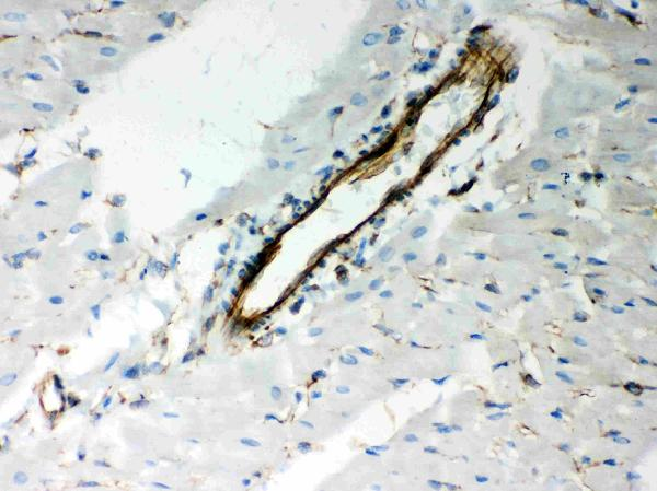 Anti- Vimentin Picoband antibody, PB9359, IHC(P)<br>IHC(P): Rat Cardiac Muscle Tissue