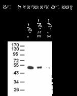 Anti-HA Tag Antibody (monoclonal, 4B2)