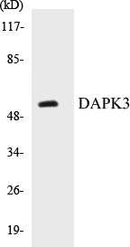 Western blot analysis of extracts from HuvEc cells