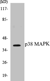 Western blot analysis of extracts from 293 cells