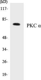 Western blot analysis of extracts from NIH-3T3 cells