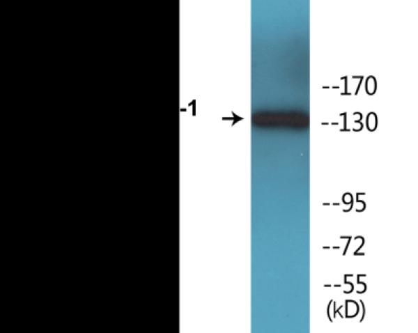 Western blot analysis of extracts from HuvEc cells treated with insulin 0.01U/ml 30'