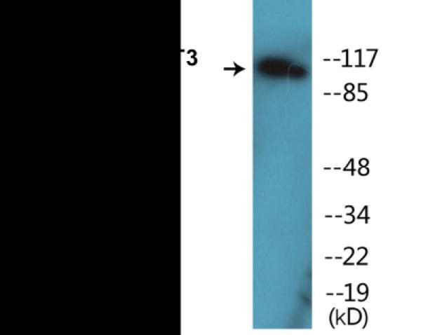 Western blot analysis of extracts from COS7 cells treated with EGF 200ng/ml 30'