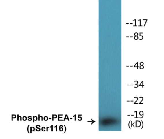 Western blot analysis of extracts from COS7 cells treated with INSULIN 0.01U/ML 15'