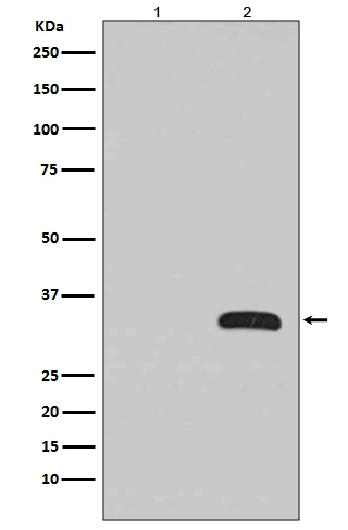Western blot analysis of GFP fusion protein expression in (1) 293T cell lysate; (2) 293T cell transfected GFP fusion protein with GFP Antibody(HRP conjugated).