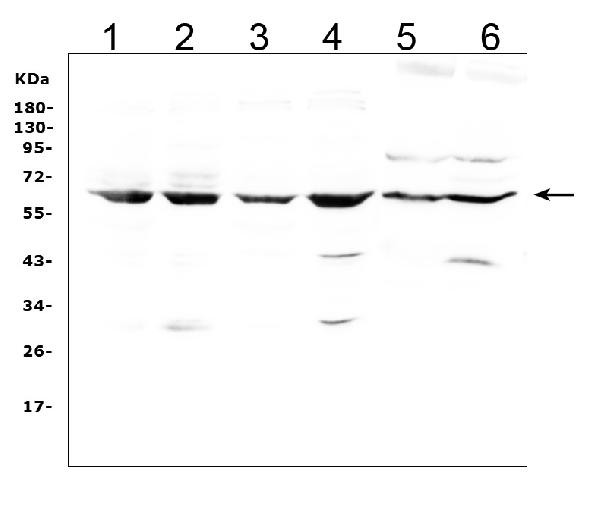 Figure 1. Western blot analysis of LBP using anti- LBP antibody (A00809-3). <br> Electrophoresis was performed on a 5-20% SDS-PAGE gel at 70V (Stacking gel) / 90V (Resolving gel) for 2-3 hours. The sample well of each lane was loaded with 50ug of sample under reducing conditions. <br> Lane 1: human Hela whole cell lysates, <br> Lane 2: human Jurkat whole cell lysates, <br> Lane 3: human A549 whole cell lysates, <br> Lane 4: human Raji whole cell lysates, <br> Lane 5: rat liver tissue lysates, <br> Lane 6: mouse liver tissue lysates. <br> After Electrophoresis, proteins were transferred to a Nitrocellulose membrane at 150mA for 50-90 minutes. Blocked the membrane with 5% Non-fat Milk/ TBS for 1.5 hour at RT. The membrane was incubated with rabbit anti- LBP antigen affinity purified polyclonal antibody (Catalog # A00809-3) at 0.5 μg/mL overnight at 4°C, then washed with TBS-0.1%Tween 3 times with 5 minutes each and probed with a goat anti-rabbit IgG-HRP secondary antibody at a dilution of 1:10000 for 1.5 hour at RT. The signal is developed using an Enhanced Chemiluminescent detection (ECL) kit (Catalog # EK1002) with Tanon 5200 system. A specific band was detected for LBP at approximately 65KD. The expected band size for LBP is at 53KD.