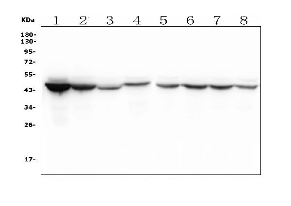 Figure 1. Western blot analysis of IDH1 using anti- IDH1 antibody (M00129-1). <br>