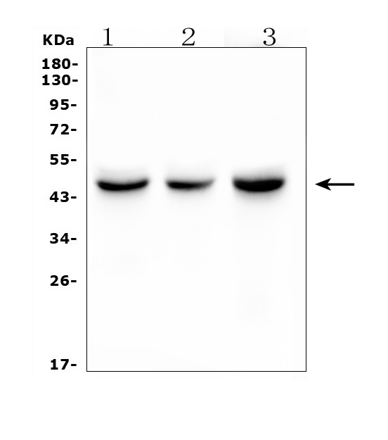 Figure 2. Western blot analysis of IDH1 using anti- IDH1 antibody (M00129-1). <br>