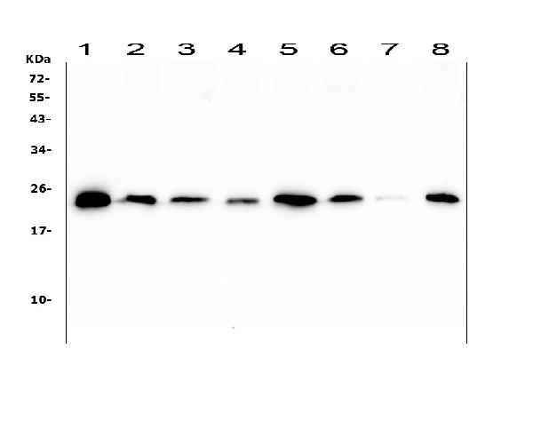 Figure 1. Western blot analysis of Ran using anti-Ran antibody (M00204-1). <br> Electrophoresis was performed on a 5-20% SDS-PAGE gel at 70V (Stacking gel) / 90V (Resolving gel) for 2-3 hours. The sample well of each lane was loaded with 50ug of sample under reducing conditions. <br> Lane 1: human HL-60 whole cell lysates, <br> Lane 2: human T-47D whole cell lysates, <br> Lane 3: human A549 whole cell lysates, <br> Lane 4: human U2OS whole cell lysates, <br> Lane 5: human THP-1 whole cell lysates, <br> Lane 6: human HepG2 whole cell lysates, <br> Lane 7: human PANC-1 whole cell lysates, <br> Lane 8: human SW620 whole cell lysates, <br> After Electrophoresis, proteins were transferred to a Nitrocellulose membrane at 150mA for 50-90 minutes. Blocked the membrane with 5% Non-fat Milk/ TBS for 1.5 hour at RT. The membrane was incubated with mouse anti-Ran antigen affinity purified monoclonal antibody (Catalog # M00204-1) at 0.5 μg/mL overnight at 4°C, then washed with TBS-0.1%Tween 3 times with 5 minutes each and probed with a goat anti-mouse IgG-HRP secondary antibody at a dilution of 1:10000 for 1.5 hour at RT. The signal is developed using an Enhanced Chemiluminescent detection (ECL) kit (Catalog # EK1001) with Tanon 5200 system. A specific band was detected for Ran at approximately 24KD. The expected band size for Ran is at 24KD.