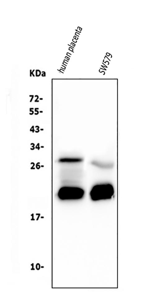 Figure 1. Western blot analysis of Caspase-3 using anti-Caspase-3 antibody (M00334-7).