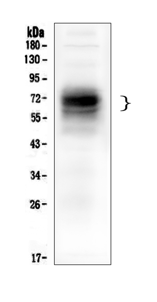 Figure 1. Western blot analysis of CD46 using anti ZO-1 antibody (M00377-2). <br>