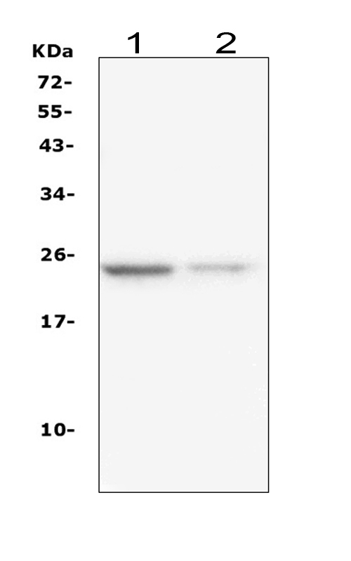 Figure 2. Western blot analysis of IL22 using anti- IL22 antibody (M00963). <br> Electrophoresis was performed on a 5-20% SDS-PAGE gel at 70V (Stacking gel) / 90V (Resolving gel) for 2-3 hours. The sample well of each lane was loaded with 50ug of sample under reducing conditions. <br> Lane 1: human U-87MG whole cell lysates, <br> Lane 2: human A375 whole cell lysates, <br> After Electrophoresis, proteins were transferred to a Nitrocellulose membrane at 150mA for 50-90 minutes. Blocked the membrane with 5% Non-fat Milk/ TBS for 1.5 hour at RT. The membrane was incubated with mouse anti- IL22 antigen affinity purified monoclonal antibody (Catalog # M00963) at 0.5 μg/mL overnight at 4°C, then washed with TBS-0.1%Tween 3 times with 5 minutes each and probed with a goat anti-mouse IgG-HRP secondary antibody at a dilution of 1:10000 for 1.5 hour at RT. The signal is developed using an Enhanced Chemiluminescent detection (ECL) kit (Catalog # EK1001) with Tanon 5200 system. A specific band was detected for IL22 at approximately 24KD. The expected band size for IL22 is at 20KD.