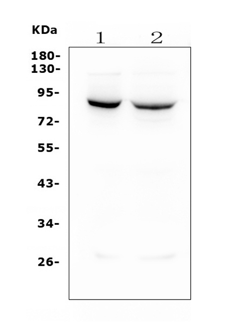 Figure 1. Western blot analysis of MFN1 using anti- MFN1 antibody (M02172-1). <br>