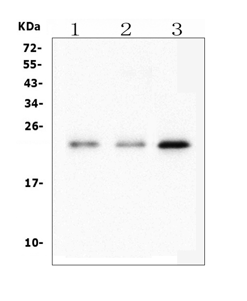 Figure 2. Western blot analysis of HMGB3 using anti- HMGB3 antibody (M02834-1). <br>