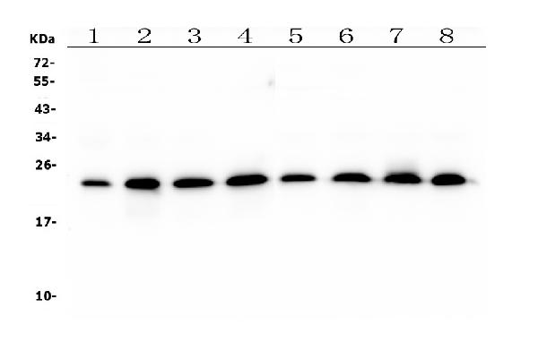 Figure 1. Western blot analysis of RAB11B using anti- RAB11B antibody (M04526). <br>