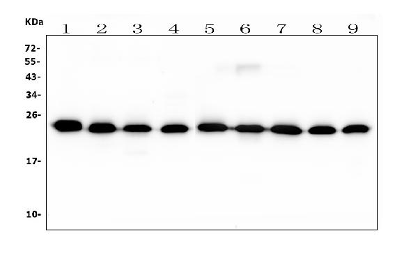 Figure 2. Western blot analysis of RAB11B using anti- RAB11B antibody (M04526). <br>Electrophoresis was performed on a 5-20% SDS-PAGE gel at 70V (Stacking gel) / 90V (Resolving gel) for 2-3 hours. The sample well of each lane was loaded with 50ug of sample under reducing conditions. <br>Lane 1: rat brain tissue lysates, <br>Lane 2: rat lung whole cell lysates, <br>Lane 3: rat spleen whole cell lysates, <br>Lane 4: rat C6 whole cell lysates, <br>Lane 5: mouse brain whole cell lysates. <br>Lane 6: mouse lung whole cell lysates. <br>Lane 7: mouse spleen whole cell lysates. <br>Lane 8: mouse Neuro-2a whole cell lysates. <br>Lane 9: mouse RAW246.7 whole cell lysates. <br>After Electrophoresis, proteins were transferred to a Nitrocellulose membrane at 150mA for 50-90 minutes. Blocked the membrane with 5% Non-fat Milk/ TBS for 1.5 hour at RT. The membrane was incubated with mouse anti-RAB11B antigen affinity purified polyclonal antibody (Catalog # M04526) at 0.5 g/mL overnight at 4C, then washed with TBS-0.1%Tween 3 times with 5 minutes each and probed with a goat anti-mouse IgG-HRP secondary antibody at a dilution of 1:10000 for 1.5 hour at RT. The signal is developed using an Enhanced Chemiluminescent detection (ECL) kit (Catalog # EK1001) with Tanon 5200 system. A specific band was detected for RAB11B at approximately 24KD. The expected band size for RAB11B is at 24KD.