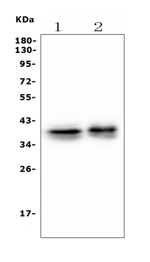 Figure 1. Western blot analysis of MSI using anti- MSI antibody (M05052-1). <br>