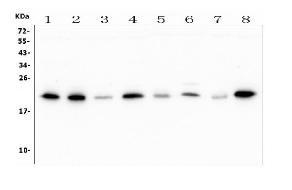 Figure 1. Western blot analysis of ATP5H using anti-ATP5H antibody (M09565). <br> Electrophoresis was performed on a 5-20% SDS-PAGE gel at 70V (Stacking gel) / 90V (Resolving gel) for 2-3 hours. The sample well of each lane was loaded with 50ug of sample under reducing conditions. <br> Lane 1: human Hela tissue lysates, <br> Lane 2: human HepG2 whole cell lysates, <br> Lane 3: human U-87MG whole cell lysates, <br> Lane 4: human A549 whole cell lysates, <br> Lane 5: monkey COS-7 whole cell lysates, <br> Lane 6: human SW620 whole cell lysates. <br> Lane 7: rat PC-12 whole cell lysates. <br> Lane 8: mouse Ana-1 whole cell lysates. <br> After Electrophoresis, proteins were transferred to a Nitrocellulose membrane at 150mA for 50-90 minutes. Blocked the membrane with 5% Non-fat Milk/ TBS for 1.5 hour at RT. The membrane was incubated with mouse anti- ATP5H antigen affinity purified polyclonal antibody (Catalog # M09565) at 0.5 μg/mL overnight at 4°C, then washed with TBS-0.1%Tween 3 times with 5 minutes each and probed with a goat anti-mouse IgG-HRP secondary antibody at a dilution of 1:10000 for 1.5 hour at RT. The signal is developed using an Enhanced Chemiluminescent detection (ECL) kit (Catalog # EK1001) with Tanon 5200 system. A specific band was detected for ATP5H at approximately 22KD. The expected band size for ATP5H is at 18KD.
