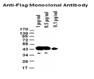 Western blot analysis of different concentration of Anti-Flag Tag(1E6) Monoclonal Antibody (M30971)<br><strong>Blocking</strong>: Incubate the membrane with 5% Non-Fat Milk, 1?PBS, 4?? overnight<br> <strong>Antibody Incubation</strong>: Diluted antibody in 5% Non-Fat Milk, 1?TBS, 0.1% Tween-20, RT, 30mins