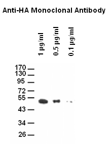 Western blot analysis of different concentration of Anti-HA Tag(4B2) Monoclonal Antibody (M30974)<br><strong>Blocking</strong>: Incubate the membrane with 5% Non-Fat Milk, 1?PBS, 4°C, overnight<br> <strong>Antibody Incubation</strong>: Diluted antibody in 5% Non-Fat Milk, 1?TBS, 0.1% Tween-20, RT, 30mins