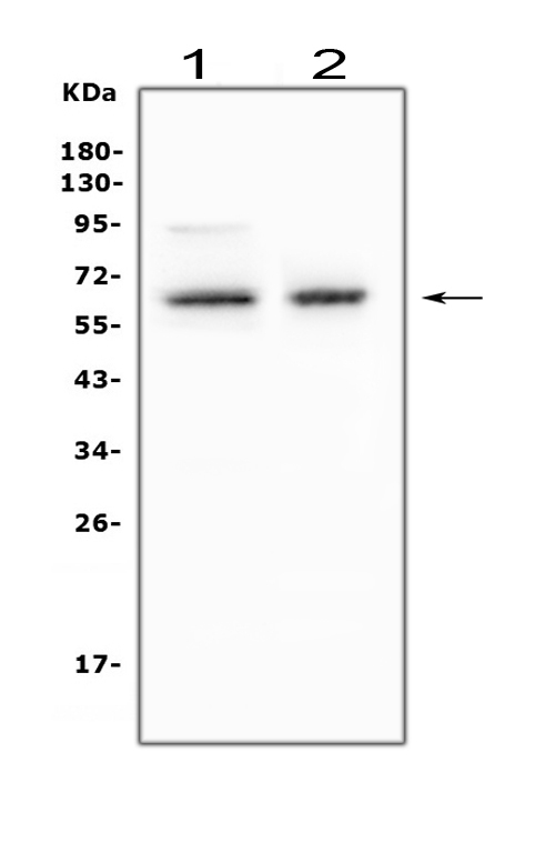 Figure 2. Western blot analysis of BIN1 using anti-BIN1 antibody (MA1005). <br> Electrophoresis was performed on a 5-20% SDS-PAGE gel at 70V (Stacking gel) / 90V (Resolving gel) for 2-3 hours. The sample well of each lane was loaded with 50ug of sample under reducing conditions. <br> Lane 1: human THP-1 whole cell lysate, <br> Lane 2: mouse skeletal muscle tissue lysate. <br> After Electrophoresis, proteins were transferred to a Nitrocellulose membrane at 150mA for 50-90 minutes. Blocked the membrane with 5% Non-fat Milk/ TBS for 1.5 hour at RT. The membrane was incubated with mouse anti-BIN1 antigen affinity purified monoclonal antibody (Catalog # MA1005) at 0.5 μg/mL overnight at 4°C, then washed with TBS-0.1%Tween 3 times with 5 minutes each and probed with a goat anti-mouse IgG-HRP secondary antibody at a dilution of 1:10000 for 1.5 hour at RT. The signal is developed using an Enhanced Chemiluminescent detection (ECL) kit (Catalog # EK1001) with Tanon 5200 system. A specific band was detected for BIN1 at approximately 65KD. The expected band size for BIN1 is at 65KD.