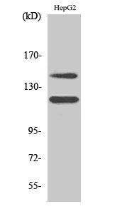 Western Blot (WB) analysis of specific cells using Phospho-c-Kit (Y721) Polyclonal antibody.