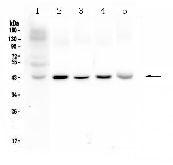 Figure 1. Western blot analysis of Connexin 43/GJA1 using anti- Connexin 43/GJA1 antibody (PA1026). <br> Electrophoresis was performed on a 5-20% SDS-PAGE gel at 70V (Stacking gel) / 90V (Resolving gel) for 2-3 hours. The sample well of each lane was loaded with 50ug of sample under reducing conditions. <br> Lane 1: human placenta tissue lysates, <br> Lane 2: rat brain tissue lysates, <br> Lane 3: rat heart tissue lysates, <br> Lane 4: mouse brain tissue lysates,<br> Lane 5: mouse heart tissue lysates.<br> After Electrophoresis, proteins were transferred to a Nitrocellulose membrane at 150mA for 50-90 minutes. Blocked the membrane with 5% Non-fat Milk/ TBS for 1.5 hour at RT. The membrane was incubated with rabbit anti- Connexin 43/GJA1 antigen affinity purified polyclonal antibody (Catalog # PA1026) at 0.5 μg/mL overnight at 4°C, then washed with TBS-0.1%Tween 3 times with 5 minutes each and probed with a goat anti-rabbit IgG-HRP secondary antibody at a dilution of 1:10000 for 1.5 hour at RT. The signal is developed using an Enhanced Chemiluminescent detection (ECL) kit (Catalog # EK1002) with Tanon 5200 system. A specific band was detected for Connexin 43/GJA1 at approximately 43KD. The expected band size for Connexin 43/GJA1 is at 43KD.