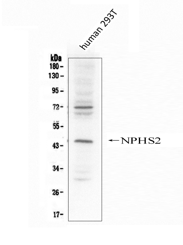 Figure 3. Western blot analysis of NPHS2 using anti- NPHS2 antibody (PA1322-1). <br> Electrophoresis was performed on a 5-20% SDS-PAGE gel at 70V (Stacking gel) / 90V (Resolving gel) for 2-3 hours. The sample well of each lane was loaded with 50ug of sample under reducing conditions.  <br> Lane 1: human 293T whole cell lysates. <br> After Electrophoresis, proteins were transferred to a Nitrocellulose membrane at 150mA for 70 minutes. Blocked the membrane with 5% Non-fat Milk/ TBS for 1.5 hour at RT. The membrane was incubated with rabbit anti- NPHS2 antigen affinity purified polyclonal antibody (Catalog # PA1322-1) at 0.5 μg/mL overnight at 4°C, then washed with TBS-0.1%Tween 3 times with 5 minutes each and probed with a goat anti-rabbit IgG-HRP secondary antibody at a dilution of 1:10000 for 1.5 hour at RT. The signal is developed using an Enhanced Chemiluminescent detection (ECL) kit (Catalog # EK1002) with Tanon 5200 system. A specific band was detected for NPHS2 at approximately 45KD. The expected band size for NPHS2 is at 42KD.