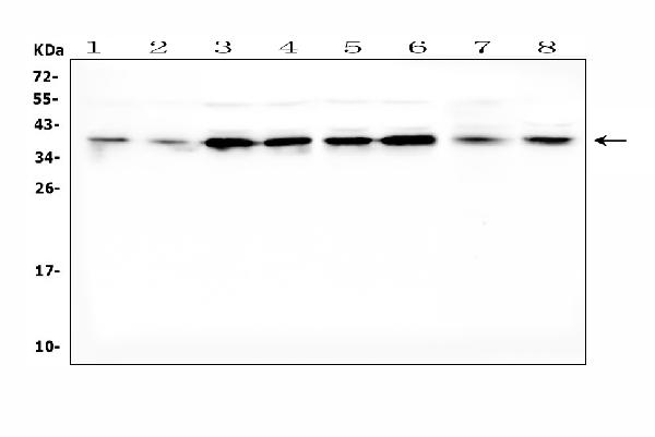 /p/a/pa1462-dkk1-primary-antibodies-wb-testing-1.jpg