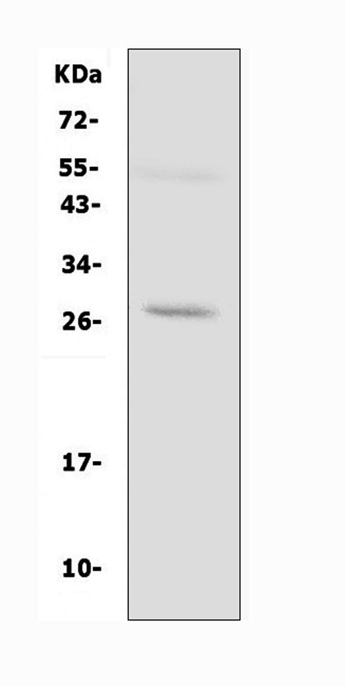 /p/a/pa1511-aqp8-primary-antibodies-wb-testing-2.jpg