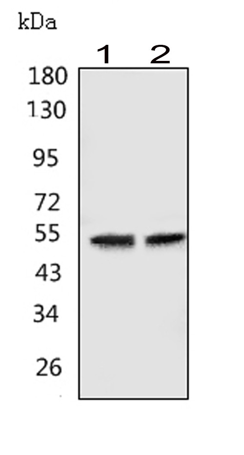 Figure 3. Western blot analysis of GABRA1 using anti- GABRA1 antibody (PA1578). <br> Electrophoresis was performed on a 5-20% SDS-PAGE gel at 70V (Stacking gel) / 90V (Resolving gel) for 2-3 hours. The sample well of each lane was loaded with 50ug of sample under reducing conditions. <br> Lane 1: human Hela whole cell lysates, <br> Lane 2: human U-87MG whole cell lysates, <br> After Electrophoresis, proteins were transferred to a Nitrocellulose membrane at 150mA for 50-90 minutes. Blocked the membrane with 5% Non-fat Milk/ TBS for 1.5 hour at RT. The membrane was incubated with rabbit anti- GABRA1 antigen affinity purified polyclonal antibody (Catalog # PA1578) at 0.5 μg/mL overnight at 4°C, then washed with TBS-0.1%Tween 3 times with 5 minutes each and probed with a goat anti-rabbit IgG-HRP secondary antibody at a dilution of 1:10000 for 1.5 hour at RT. The signal is developed using an Enhanced Chemiluminescent detection (ECL) kit (Catalog # EK1002) with Tanon 5200 system. A specific band was detected for GABRA1 at approximately 52KD. The expected band size for GABRA1 is at 52KD.