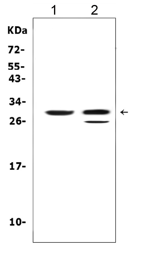 Figure 3. Western blot analysis of KLK1 using anti- KLK1 antibody (PA1625). <br> Electrophoresis was performed on a 5-20% SDS-PAGE gel at 70V (Stacking gel) / 90V (Resolving gel) for 2-3 hours. The sample well of each lane was loaded with 50ug of sample under reducing conditions. <br> Lane 1: rat pancreas tissue lysates, <br> Lane 2: mouse pancreas tissue lysates, <br> After Electrophoresis, proteins were transferred to a Nitrocellulose membrane at 150mA for 50-90 minutes. Blocked the membrane with 5% Non-fat Milk/ TBS for 1.5 hour at RT. The membrane was incubated with rabbit anti- KLK1 antigen affinity purified polyclonal antibody (Catalog # PA1625) at 0.5 μg/mL overnight at 4°C, then washed with TBS-0.1%Tween 3 times with 5 minutes each and probed with a goat anti-rabbit IgG-HRP secondary antibody at a dilution of 1:10000 for 1.5 hour at RT. The signal is developed using an Enhanced Chemiluminescent detection (ECL) kit (Catalog # EK1002) with Tanon 5200 system. A specific band was detected for KLK1 at approximately 29KD. The expected band size for KLK1 is at 29KD.